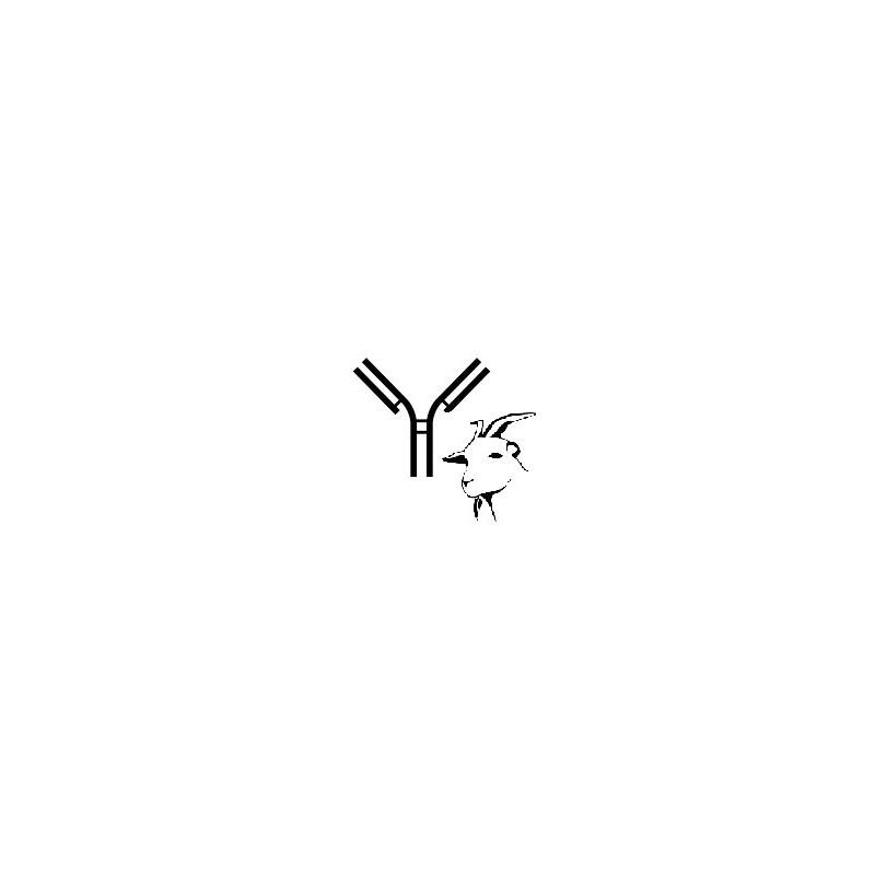 Anti-goat monoclonal antibody CVR18A (clone Lymphocytes mono)